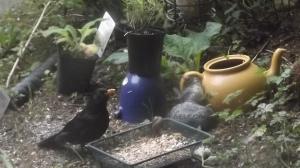 Mr Blackbird often calls round for tea
