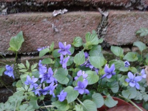 Wild violets against an old brick wall.