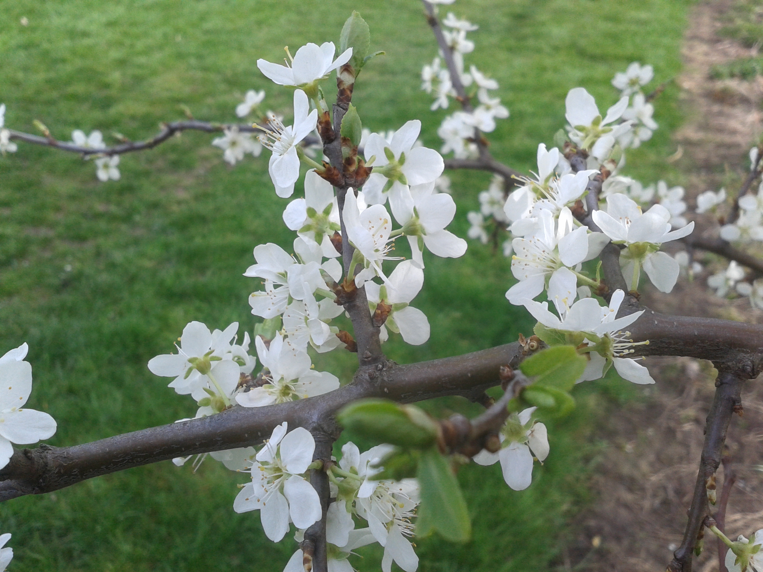 Hawthorn Flower Tattoo Hawthorn or Flowers Doncaster