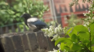 Impressionist impression of a magpie: July 2014