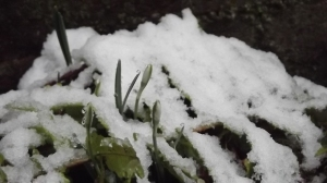 """White Flowers"" (Florele Dalbe)"