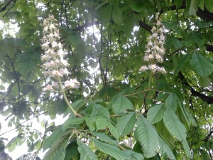 Horsechestnut blossoms: May Day, 2015