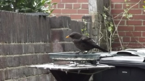 Frequent flyer at the feeder: May 2015