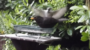 Male blackbird and his flighty friend