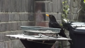 Blackbird at the feeder: May Day morning, 2015