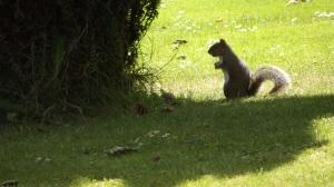 Grey squirrel: Wolverhampton, June 2015