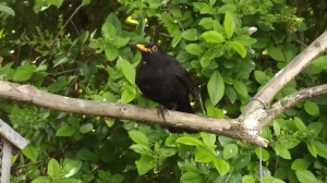 A reasonably chuffed looking blackbird: Doncaster, June 2015