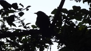 These days, I photograph birds, instead: blackbird, July 2015.