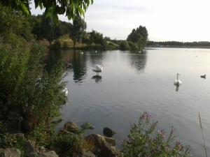 Swans on still waters: Doncaster, 2015