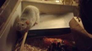 Don't look at me, says Charles de Rat. I didn't tell her to do it!