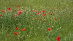 Poppies may make us sleep, but will it help us think?