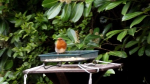 Cock robin surveys his territory: Spring 2016