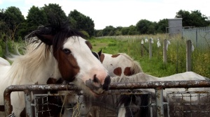 Heavy and not so heavy horses: Mexborough, June 2016