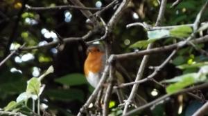 A lucky robin